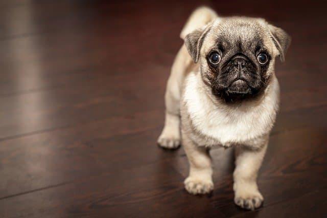 Cachorro Pug Preço